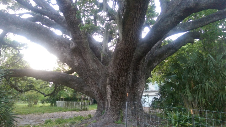 With a circumference of 33 feet, 7 inches, the Never Land Oak in Biloxi, Mississippi is estimated to be more than 700 years old.